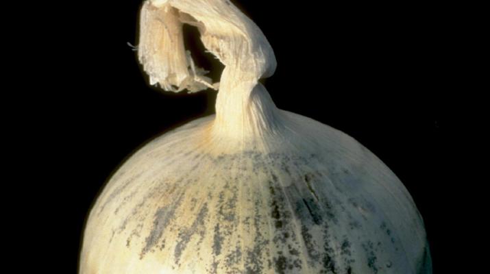 Moldy Onion